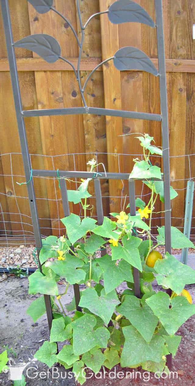 Using a tall trellis to grow cucumbers vertically
