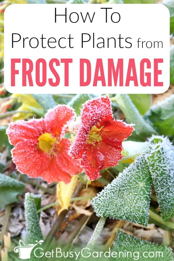 Even a light frost can damage sensitive plants and ruin vegetables. Protecting plants from frost in fall and early spring extends the gardening season. Learn which plants need protection, what temperature to cover plants, what to use to cover plants in pots or in the garden, how to cover plants for frost, and more.