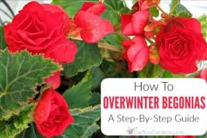How To Overwinter Tuberous Begonias Indoors