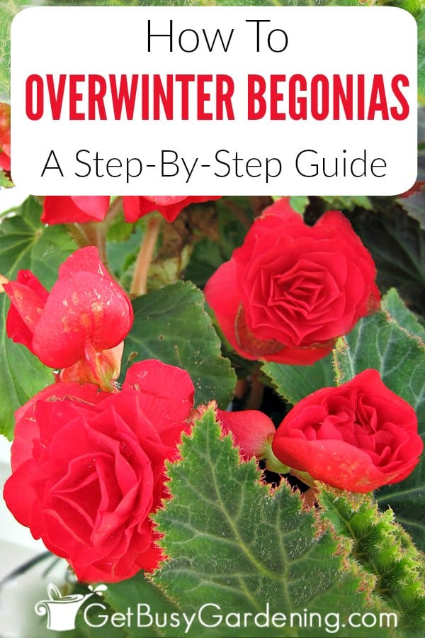Some types of begonia plants have tubers (bulbs) which can easily be brought indoors in the fall and stored for winter. Whether you're growing tuberous begonias in your gardens or in pots, they can be overwintered and grown again next summer. Follow these simple step-by-step instructions for overwintering begonias, and get tips for winter care too.