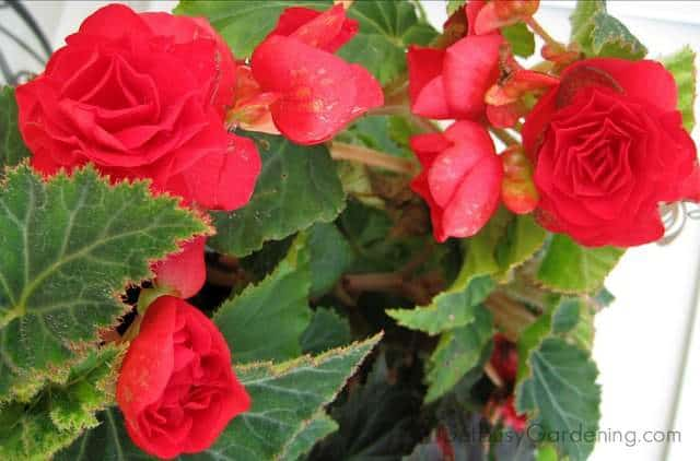Red flowers on mature tuberous begonia