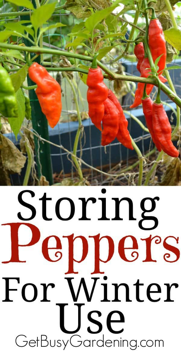 Have an overabundance of peppers from your vegetable garden? Here are some easy ways you can start storing peppers for winter use.