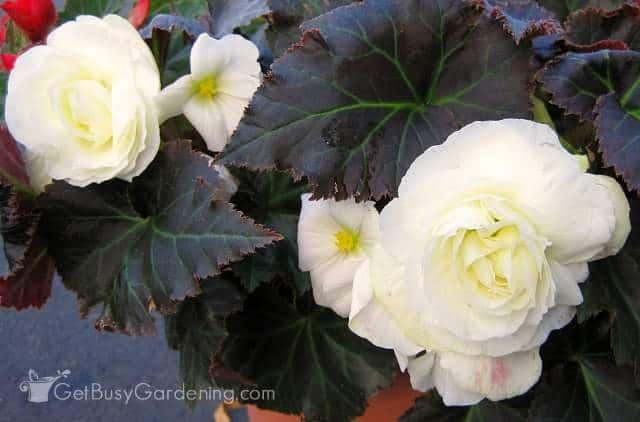 Tuberous begonia white flowers
