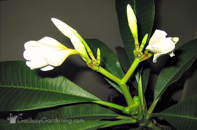 Flowers opening on plumeria plant
