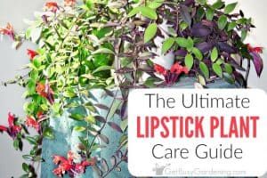 Lipstick Plant Care Guide: How To Care For A Lipstick Plant