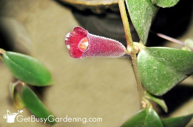 Lipstick plant flower looks like a tube of lipstick