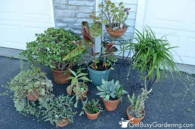 Common indoor plant pests often come from putting houseplants outside