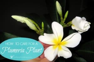 How To Care For A Potted Plumeria Plant