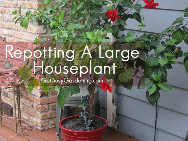 Repotting a Large Houseplant