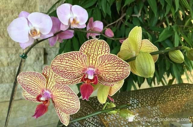 Beautiful orchid as houseplant