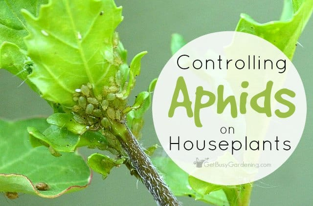 Controlling aphids on houseplants