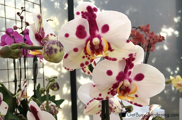 Gorgeous orchid house plant with spotted flowers
