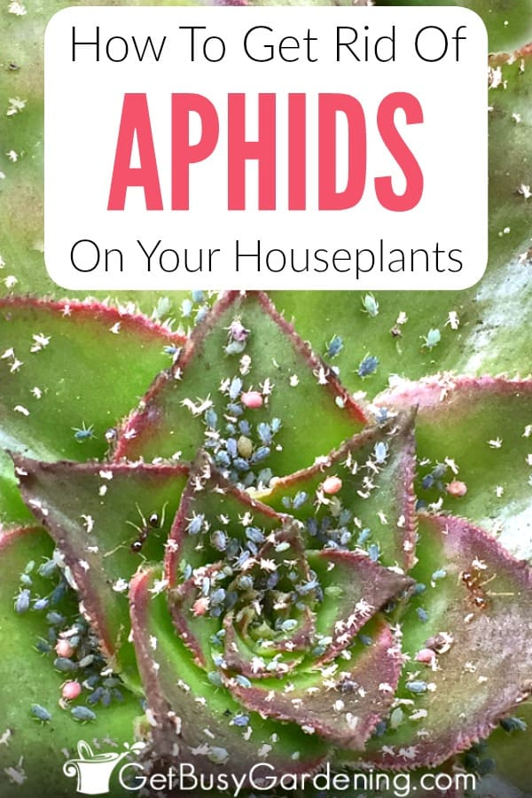 Get rid of aphids on houseplants can be tough, but it's best to use natural aphid control methods. Follow these organic aphid treatment methods, like using neem oil, soapy water, or a cotton swab soaked in rubbing alcohol to get rid of aphids naturally, and learn how to prevent aphids from ever coming back!