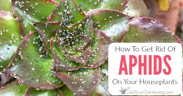 How to get rid of aphids on houseplants for good get - How to get rid of bugs in garden ...