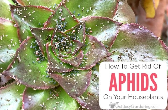 How To Get Rid Of Aphids On Houseplants