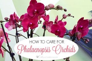 How To Care For A Phalaenopsis Orchid Plant
