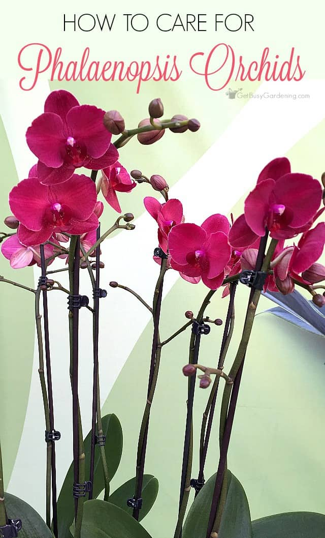 Orchid Plant Care Instructions How To Care For A Phalaenopsis Orchid