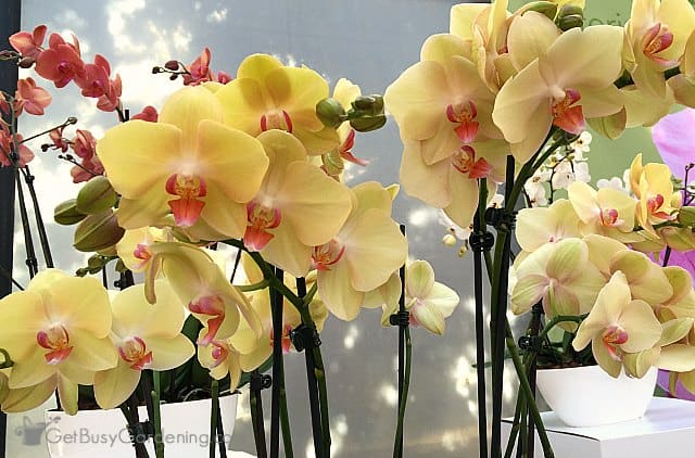 Orchids make excellent flowering houseplants
