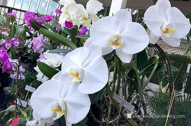 White phalaenopsis orchid flowers