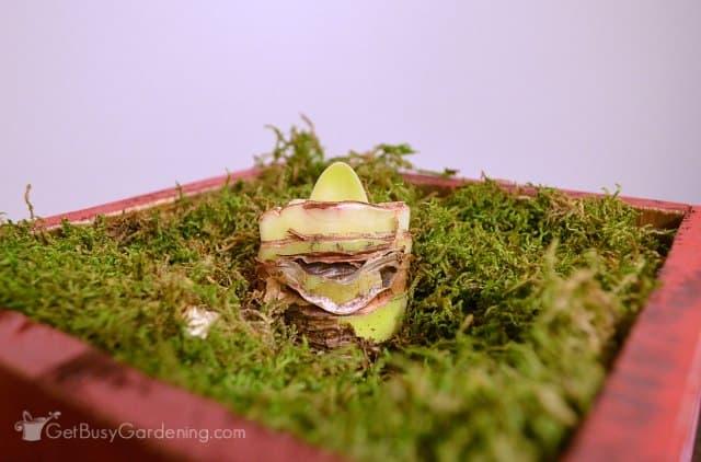 Amaryllis leaves growing before flower