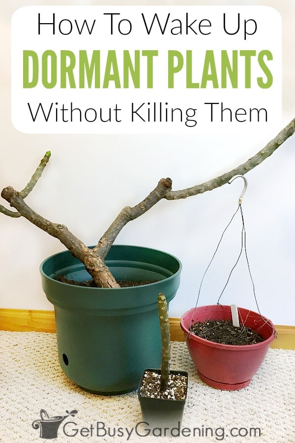 Overwintering plants in a dormant state makes winter plant storage much easier, but bringing plants out of dormancy can be challenging. Follow these easy tips for how to wake up dormant plants without killing them.