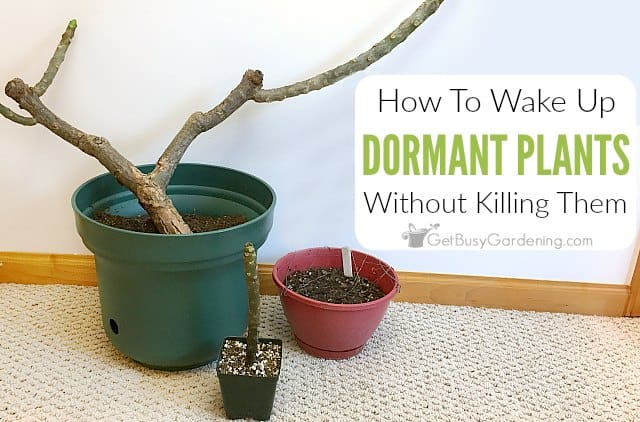How To Bring A Plant Out Of Dormancy - Get Busy Gardening