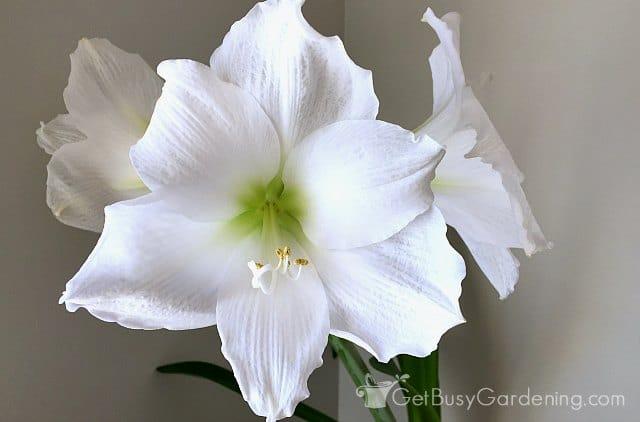 My white amaryllis reblooming