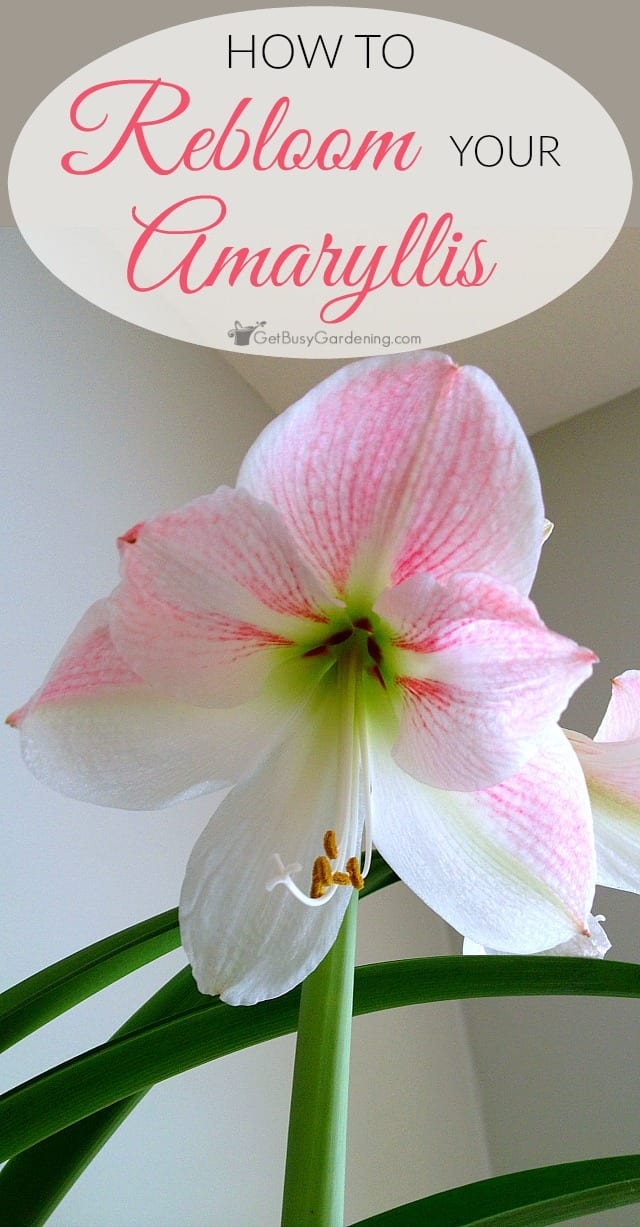 Amaryllis plants make great houseplants that can flower again year after year. Here are detailed steps (with pictures) to rebloom your amaryllis bulbs.