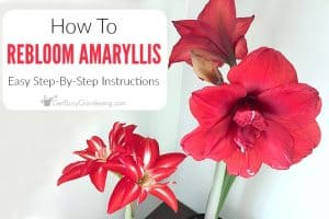 How To Rebloom Your Amaryllis Plants