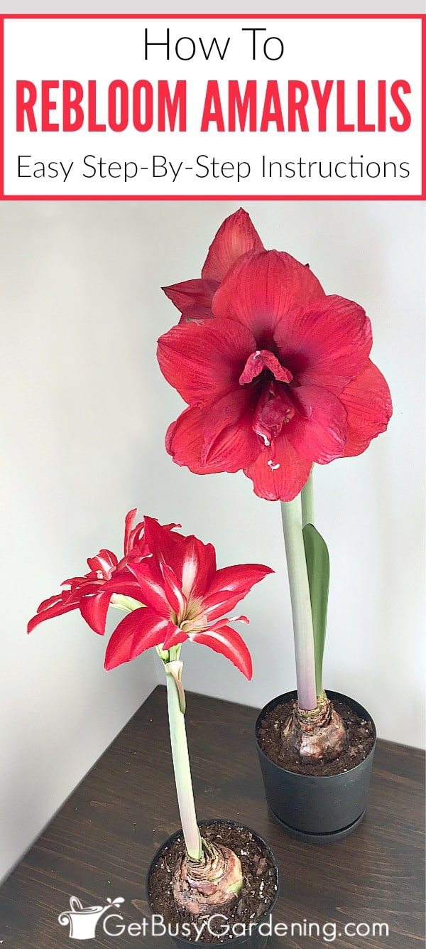 With the right care, amaryllis bulbs rebloom year after year! Getting an amaryllis to rebloom is easy, once you know how. Here are detailed steps (with pictures) to rebloom your amaryllis bulbs.