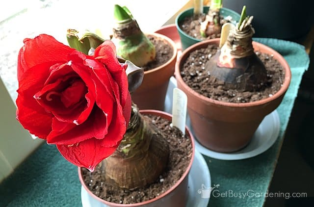 One reblooming amaryllis bulb (and more flowers to come)