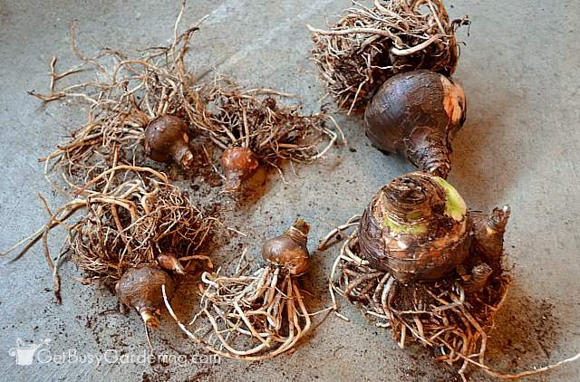 Storing amaryllis bulbs bare root