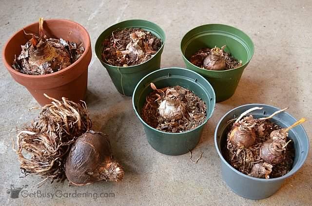 Storing amaryllis bulbs