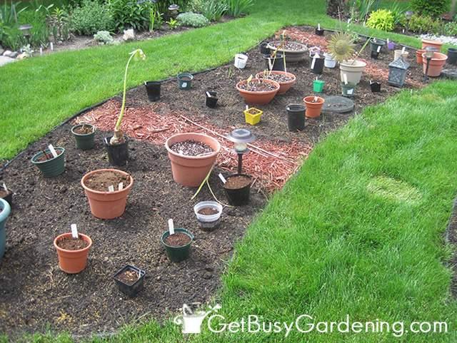 Tropical Bulbs Ready To Plant