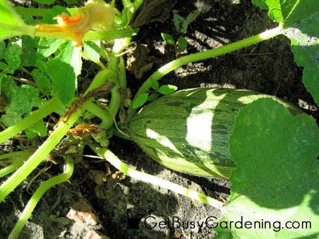 Healthy Squash Plant