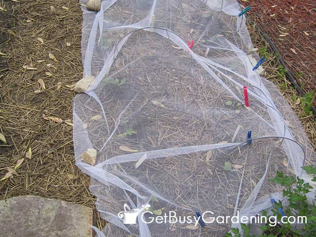 Homemade Row Cover Over Squash Seedlings