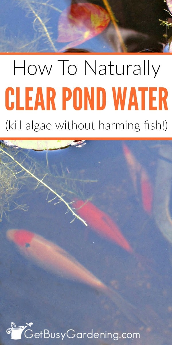 It's easy to keep pond water clear naturally, without using chemicals. Follow these simple steps to get rid of gross pond algae without harming your fish!