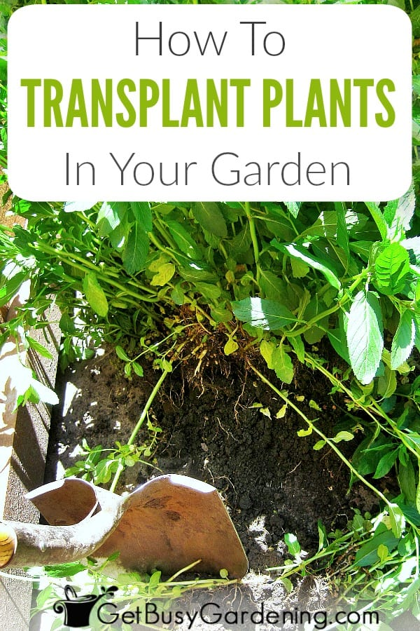 Whether transplanting new garden plants from pots, or transplanting plants from ground to ground, there are a few simple steps to minimize transplant shock. Dig the new hole, fill it with water, transfer the plant, water it well. Learn when to transplant perennials, and get detailed steps for how to transplant a plant.