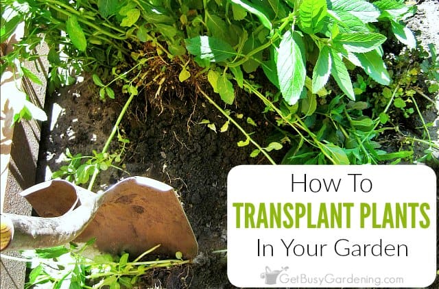 How To Transplant A Plant In Your Garden Get Busy Gardening