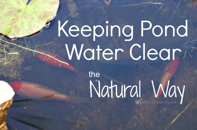 Keeping pond water clear the natural way for How to make koi pond water clear