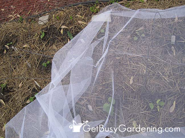 Row Covers Help To Avoid Squash Borer