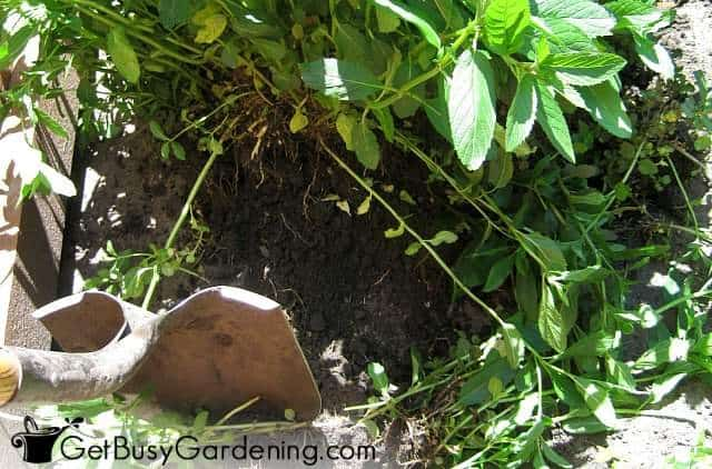 Try not to damage roots when digging moving perennials
