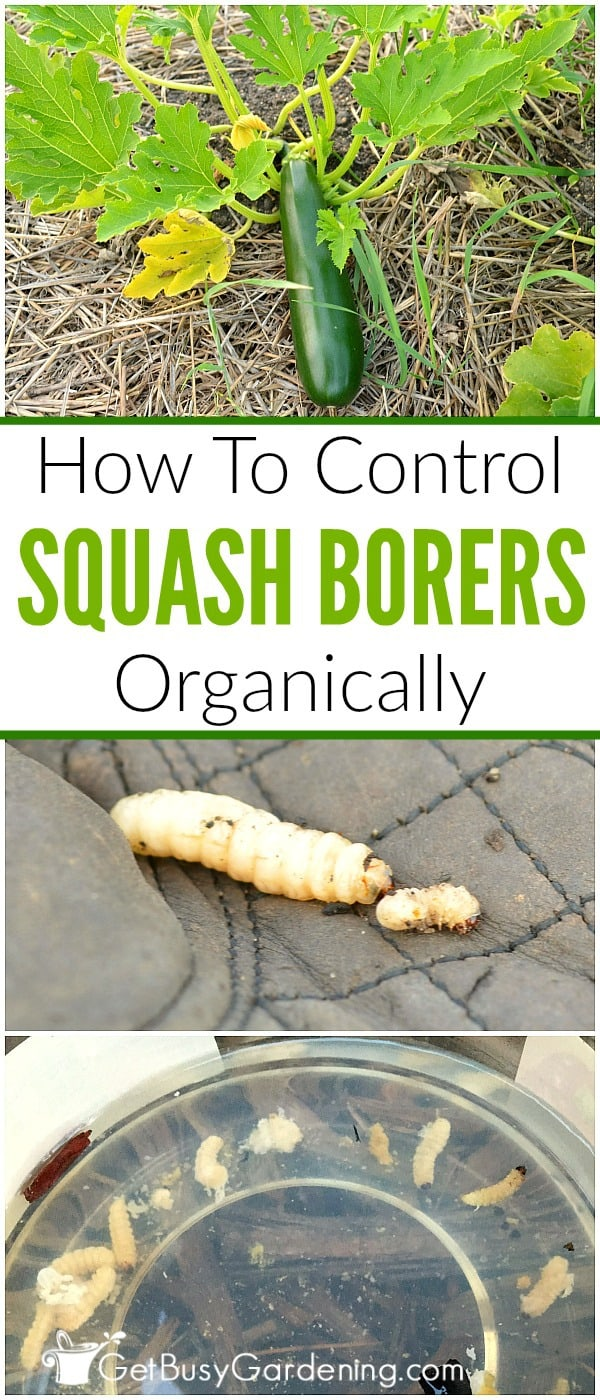 Just because there are squash borers inside the vines doesn't mean the plant has to die! Learn how to remove them, and get rid of squash borers organically!
