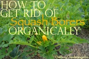 How to Get Rid of Squash Borers Organically