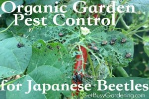 Tips For Controlling Japanese Beetles In Your Garden Organically
