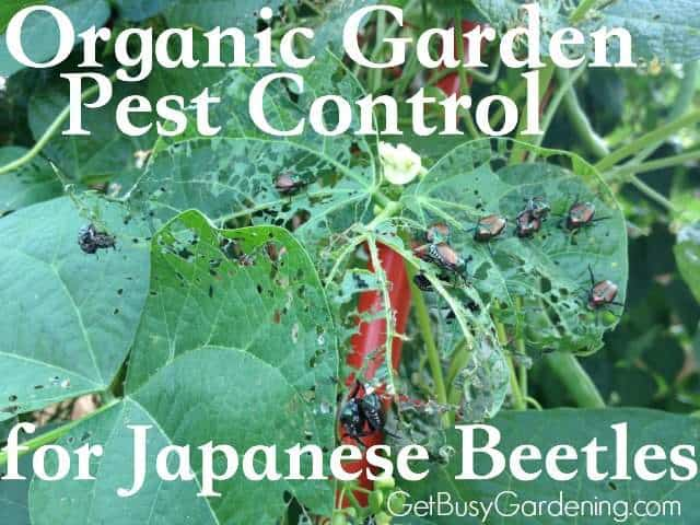 Tips For Controlling Japanese Beetles In Your Garden Organically ...
