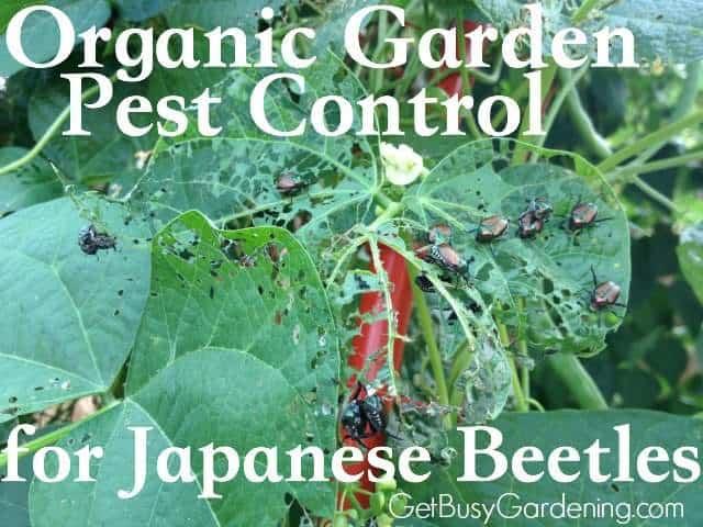 Garden Pest Control Japanese Beetle