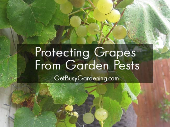 Protecting Grapes from Garden Pests