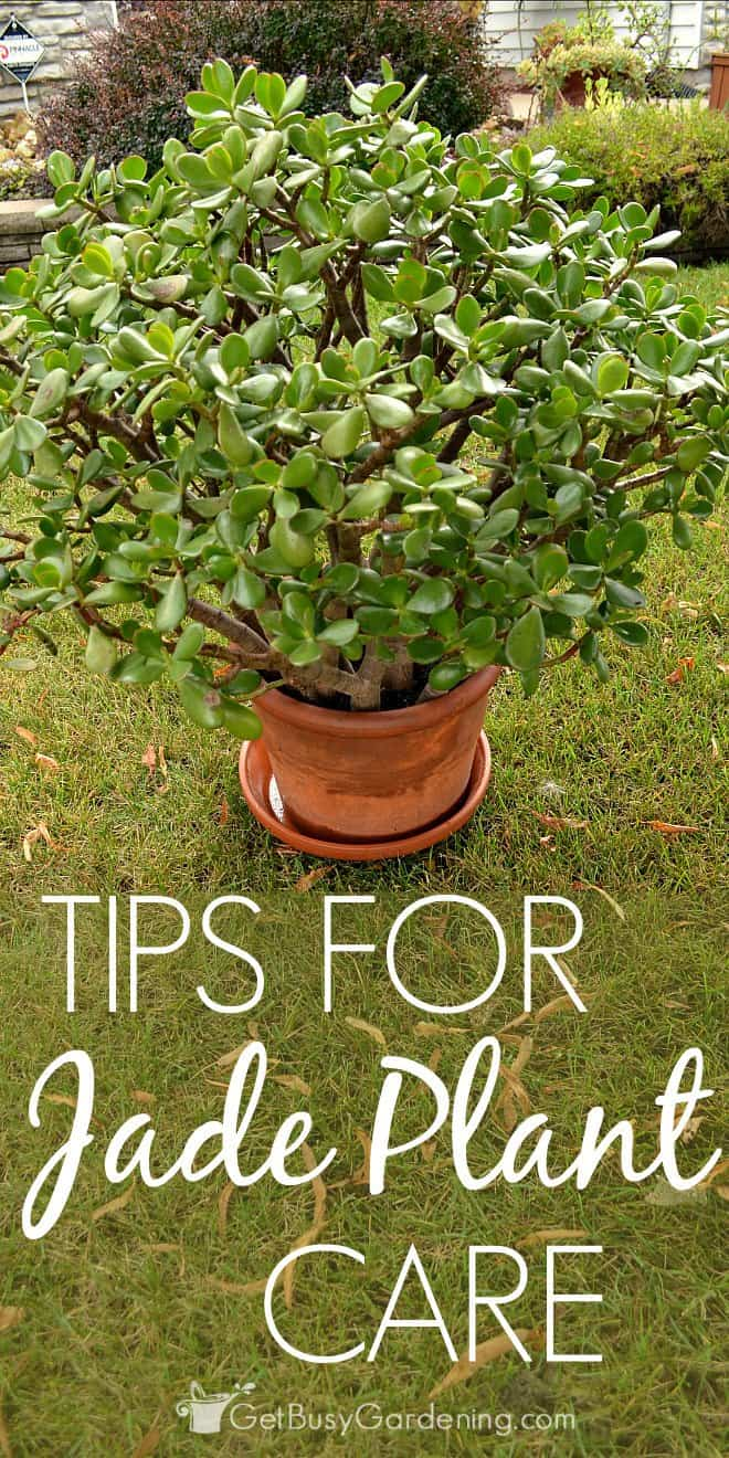 Tips for jade plant succulent care for Easy to take care of houseplants