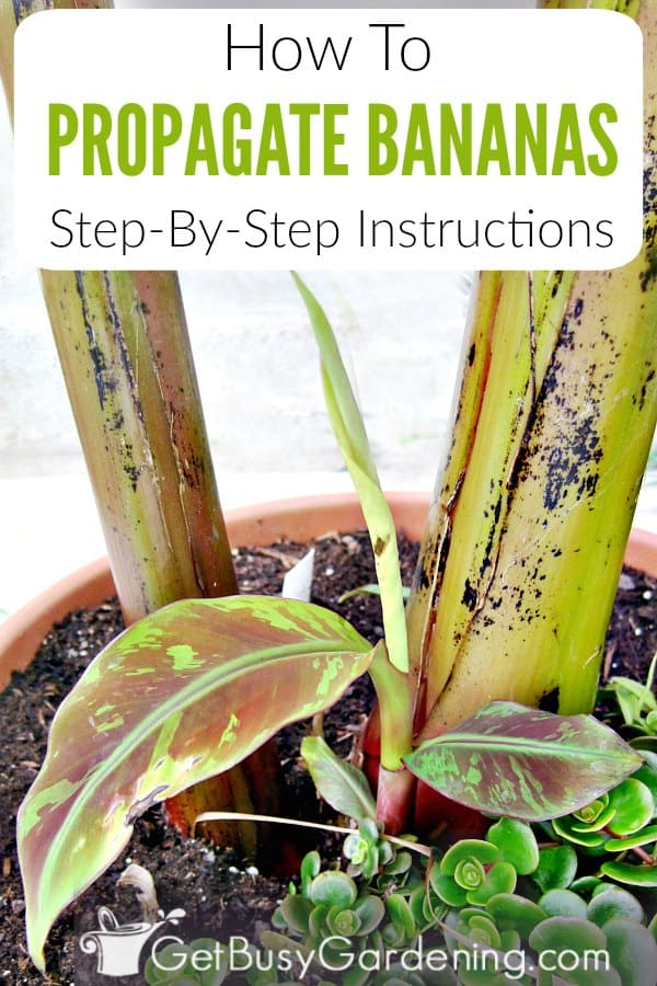 The easiest way to propagate banana plants is by division. New banana plants develop from the base of the plant, and those are called pups or suckers. Learn about the different banana propagation methods, when to divide banana plants, and get step-by-step instructions for how to propagate banana plants.